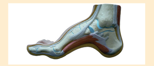 Pes Cavus Foot Structure