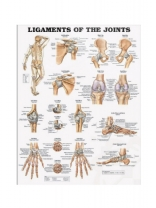 Ligaments & Joints Poster